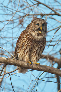 Owl - Barred - hooting - Lake Toho - Kissimmee, FL - 02