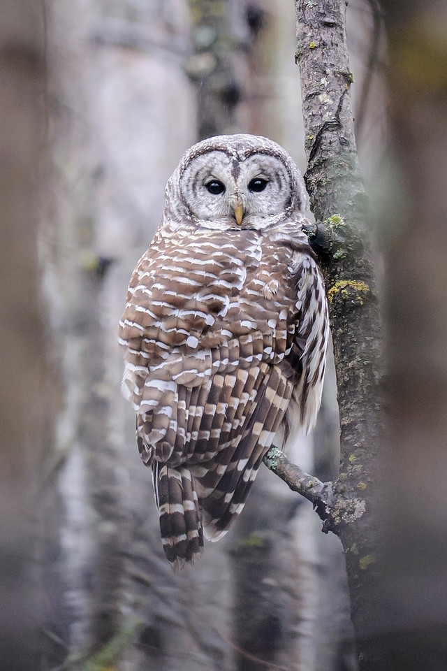 Owl - Barred - Dunning Lake - Itasca County, MN