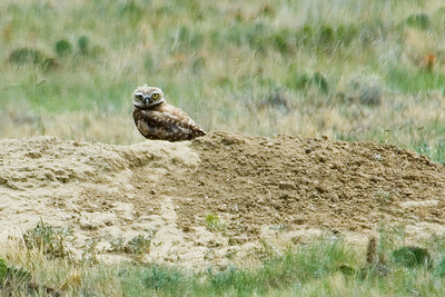 Owl - Burrowing - Pawnee National Grasslands, CO - 02
