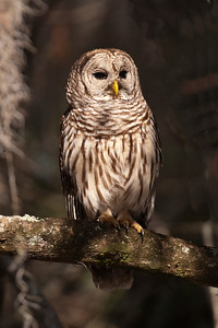 Owl - Barred - Lake Toho - Kissimmee, FL - 01