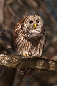 Owl - Barred - hooting - Lake Toho - Kissimmee, FL - 01