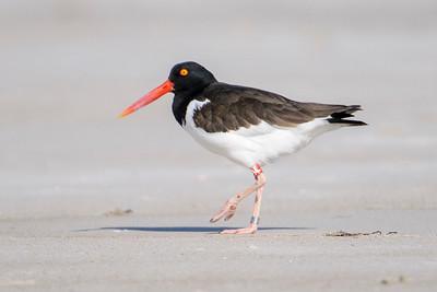 Oystercatcher - American - St. George Island State Park - FL