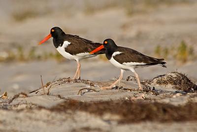Oystercatcher - American - St. George Island State Park, FL - 01