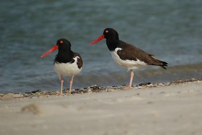 Oystercatcher - American - St. George Island State Park, FL - 03