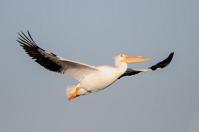 Pelican - American White - Ding Darling NWR - Sanibel Island, FL