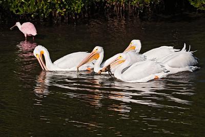 Pelican - American White - Ding Darling NWR - Sanibel, FL - 02