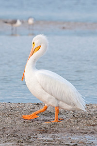 Pelican - American White - Ding Darling NWR - Sanibel, FL - 05