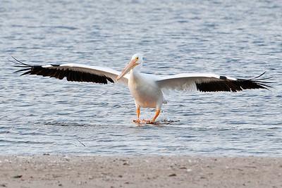 Pelican - American White - Ding Darling NWR - Sanibel, FL - 07
