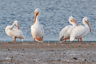 Pelican - American White - Ding Darling NWR - Sanibel, FL - 06
