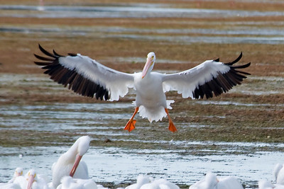 Pelican - American White - Ding Darling NWR - Sanibel, FL - 01