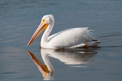 Pelican - American White - Ding Darling NWR - Sanibel, FL - 03