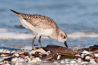 Plover - Black-bellied - Lighthouse Point - Sanibel Island, FL - 02