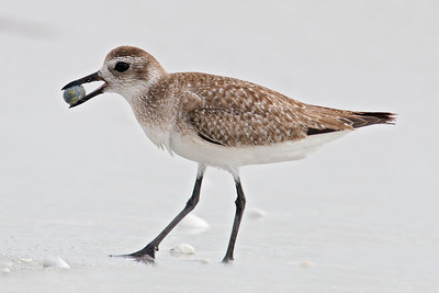 Plover - Black-bellied - Sanibel Island, FL