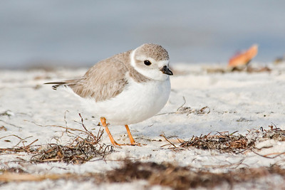 Plover - Piping - Bald Point State Park, FL