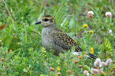 Plover - American Golden - Taconite Harbor, MN