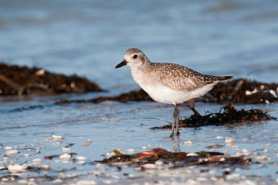 Plover - Black-bellied - Lighthouse Point - Sanibel Island, FL - 01