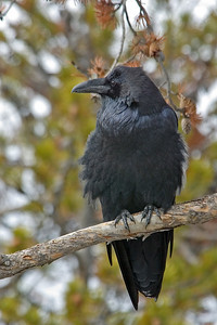 Raven - Common - Yellowstone National Park - MT