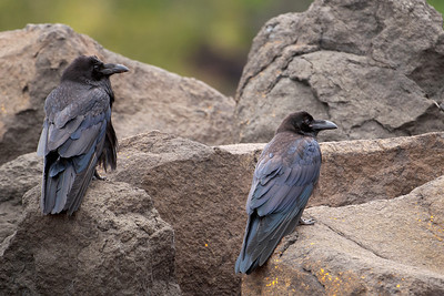 Raven - Common - adult and juvenile - Grand Marais, MN