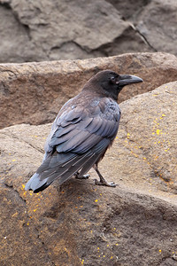 Raven - Common - juvenile - Grand Marais, MN - 02