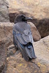 Raven - Common - Grand Marais, MN - 02