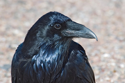 Raven - Common - Petrified Forest National Park - NM