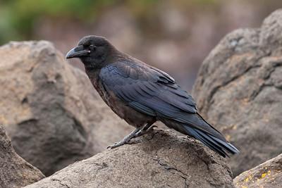 Raven - Common - juvenile - Grand Marais, MN - 01