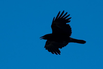 Raven - Common - Damon Point State Park - Ocean Shores, WA