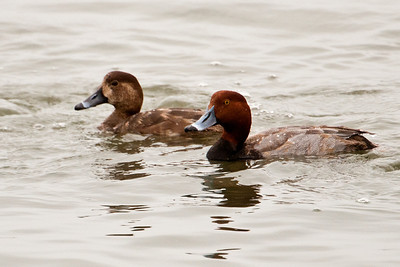 Redhead - male and female - St. George Island, FL