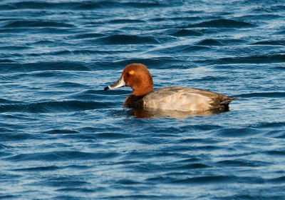 Redhead - male - Grand Marais, MN