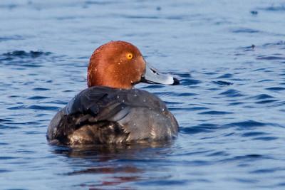 Redhead - male - St. Mark's NWR - FL - 02