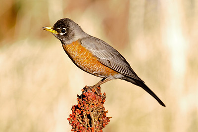 Robin - American - Dunning Lake, MN - 05