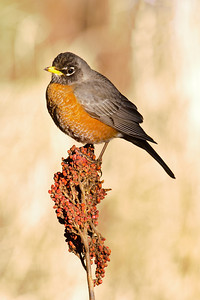 Robin - American - Dunning Lake, MN - 03
