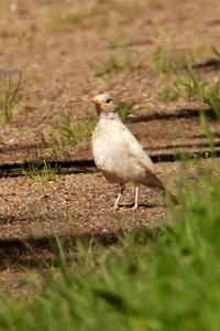 Robin - American - albino - Grand Rapids, MN - 02