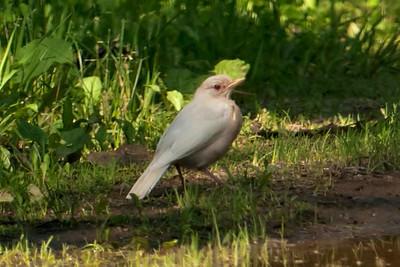 Robin - American - albino - Grand Rapids, MN - 01