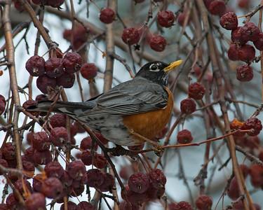 Robin - American - Bovey, MN