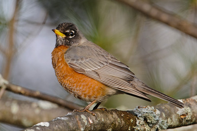 Robin - American - Dunning Lake, MN - 02