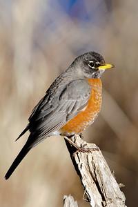 Robin - American - Dunning Lake, MN - 01