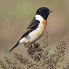 Siberian Stonechat (Saxicola maura) [黑喉石䳭 hēi-hóu shí-jí, 'black-throated stone chat'] at Beidaihe, Hebei, China