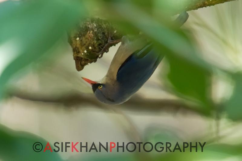 Velvet-Fronted Nuthatch (Sitta frontalis) [绒额䴓 róng-é shī, 'velvet forehead nuthatch'] at Nanjingli Ridge, Ruili, Yunnan, China