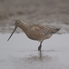 Bar Tailed Godwit (Limosa lapponica) [斑尾塍鹬 bān-wěi chéng-yù, 'spot/stripe-tailed paddy-path yu'] near Happy Island, Hebei, China