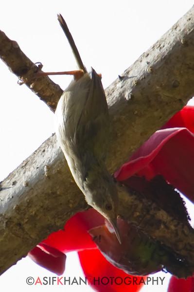 Common Tailorbird (Orthotomus sutorius) [长尾缝叶莺 cháng-wěi féng-yè-yīng, 'long-tailed sew-leaf warbler'] at Sheng Tai Yuan, Ruili, Yunnan, China