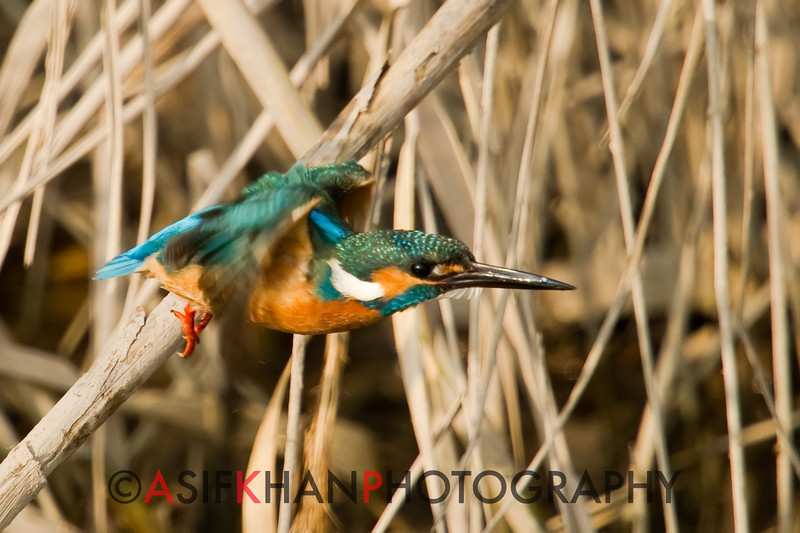 Common Kingfisher (Alcedo atthis) [普通翠鸟 pǔtōng cuì-niǎo, 'common cui bird'] at Nanhui, Shanghai, China.