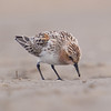 Red Necked Stint (Calidris ruficollis) [红颈滨鹬 hóng-jǐng bīn-yù, 'red-necked shore yu'] at Beidaihe, Hebei, China