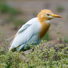 Cattle Egret (Bubulcus ibis) [牛背鹭 niú-bèi lù, 'ox-back heron'] at San Jia Gang, Shanghai, China
