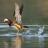 Mandarin Ducks (Aix galericulata) [鸳鸯 yuān-yang, 'yuan-yang'] taking off at Yuanyang Lake ( Datangwu Resorvior), Wuyuan, China.