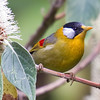 Silver-Eared Mesia (Leiothrix argentauris) [银耳相思鸟 yín-ěr xiāng-sī-niǎo, 'silver-eared mutual-thought (yearn with love) bird'] at Nanjingli Ridge, Ruili, Yunnan, China