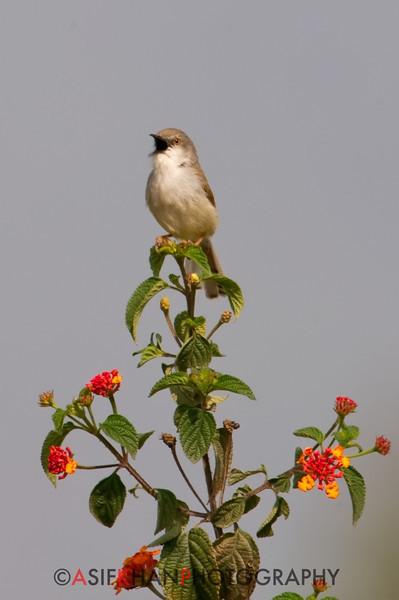 Rufescent Prinia (Prinia rufescens) [暗冕山鹪莺 àn-miǎn shān-jiāo-yīng, 'dark-crowned mountain wren-warbler'] at Sheng Tai Yuan, Ruili, Yunnan, China