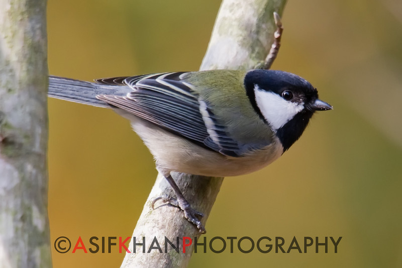 Great Tit (Parus major) [大山雀 dà shān-què, 'large mountain finch'] at Yuanyang Lake ( Datangwu Resorvior), Wuyuan, China.