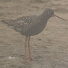 Spotted Redshank (Tringa erythropus) [鹤鹬 hè yù, 'crane yu'] near Happy Island, Hebei, China