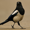 Black Billed Magpie (Pica pica) [喜鹊 xǐ-què, 'magpie']  at Beidaihe, Hebei, China